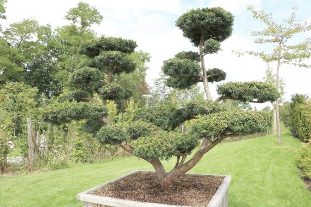 Taxus cuspidata, Japanische Eibe