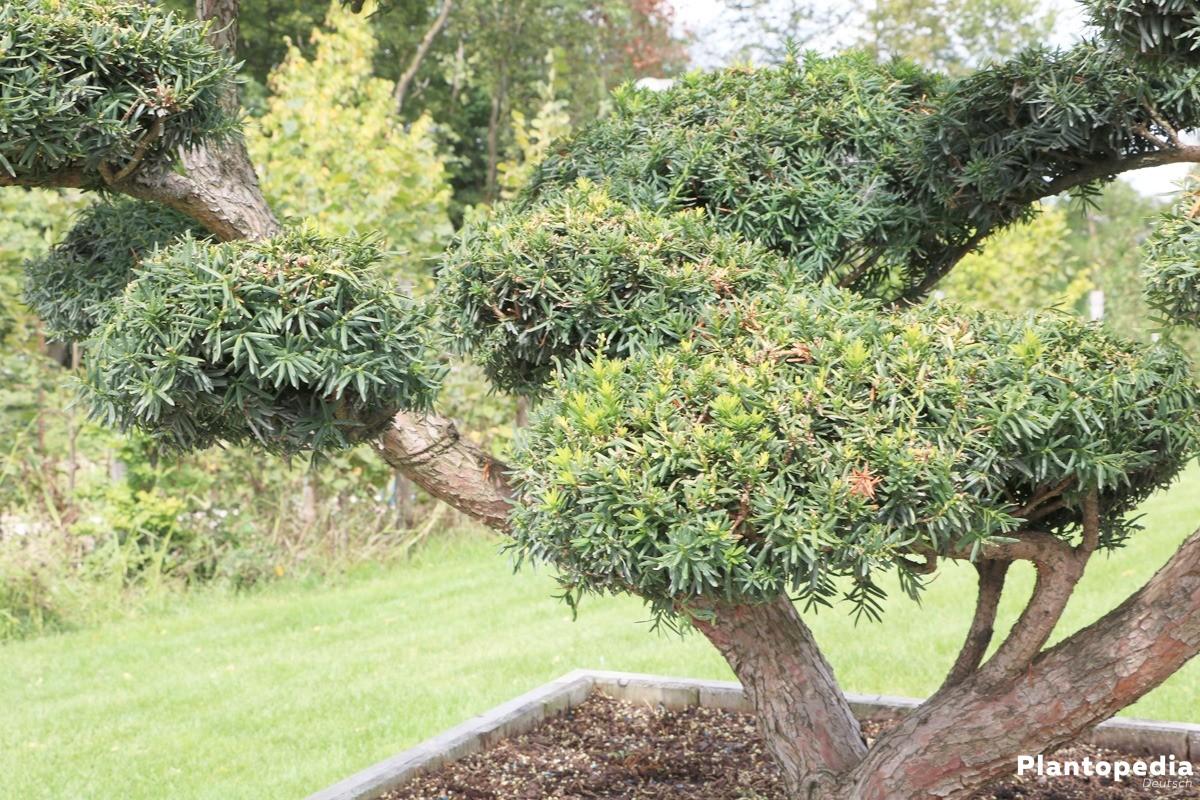 eibenhecke eibe taxus pflanzen pflege und schneiden plantopedia. Black Bedroom Furniture Sets. Home Design Ideas