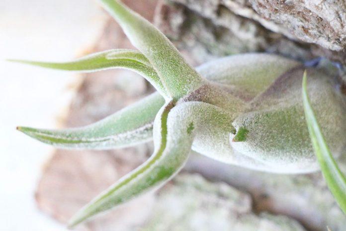 Tillandsia caput medusae, Medusas Kopf, Octopuspflanze