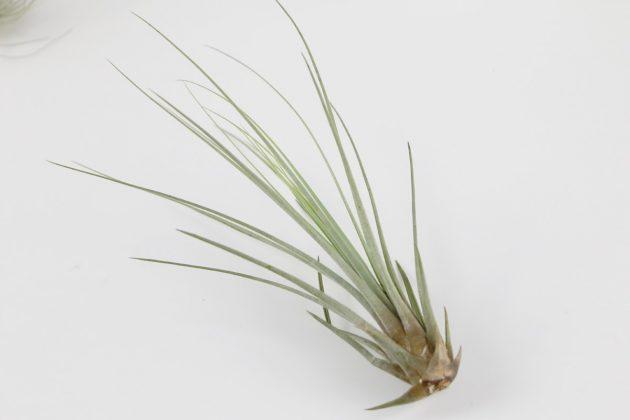 Tillandsia wird auch Luftpflanze genannt
