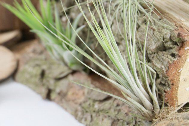 Tillandsien sind sehr beliebte Zimmerpflanzen