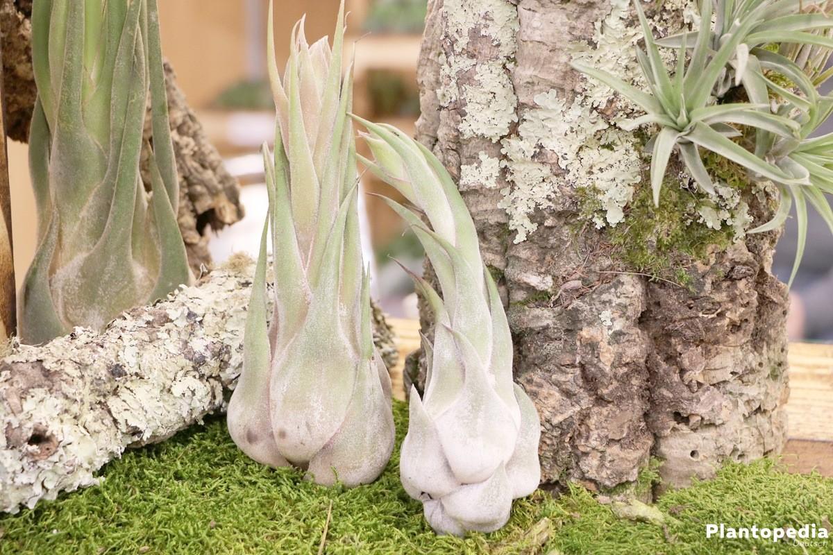 Tillandsien werden auch Luftpflanzen genannt