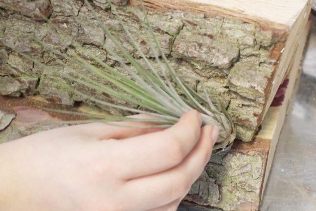 Tillandsien wachsen nach einiger Zeit an Baumrinde fest