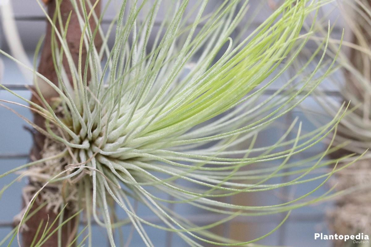 Tillandsien Arten tillandsien tillandsia arten pflege anleitung plantopedia