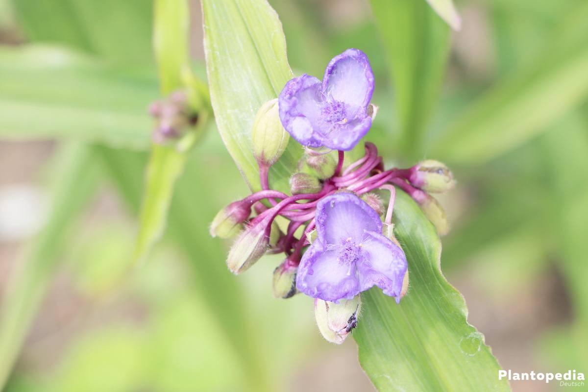 Dreimasterblume wächst bis zu 60 Zentimeter hoch