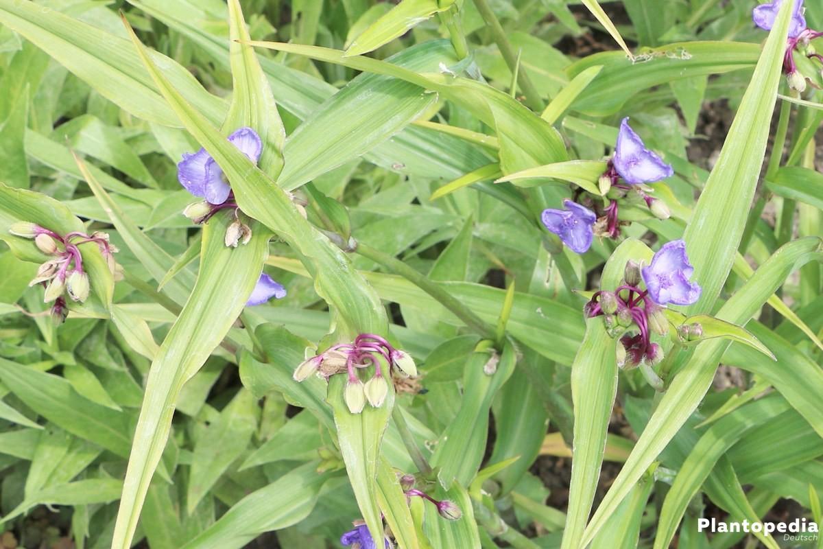dreimasterblume,tradescantia, gottesauge - pflege-anleitung, Garten seite