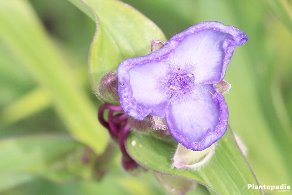 Dreimasterblume mit Blüten in Blau, Violett, Rosa oder Weiß