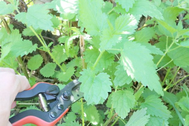 Brennnesselblätter mit einer Gartenschere abschneiden