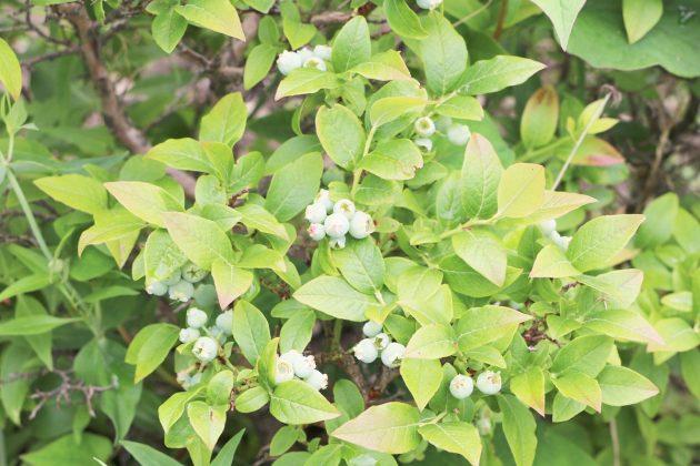 Vaccinium myrtillus, Heidelbeere trägt aromatische Früchte