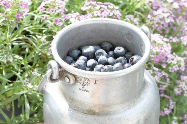 Heidelbeere, Blaubeere per Hand lassen sich die Früchte am besten ernten