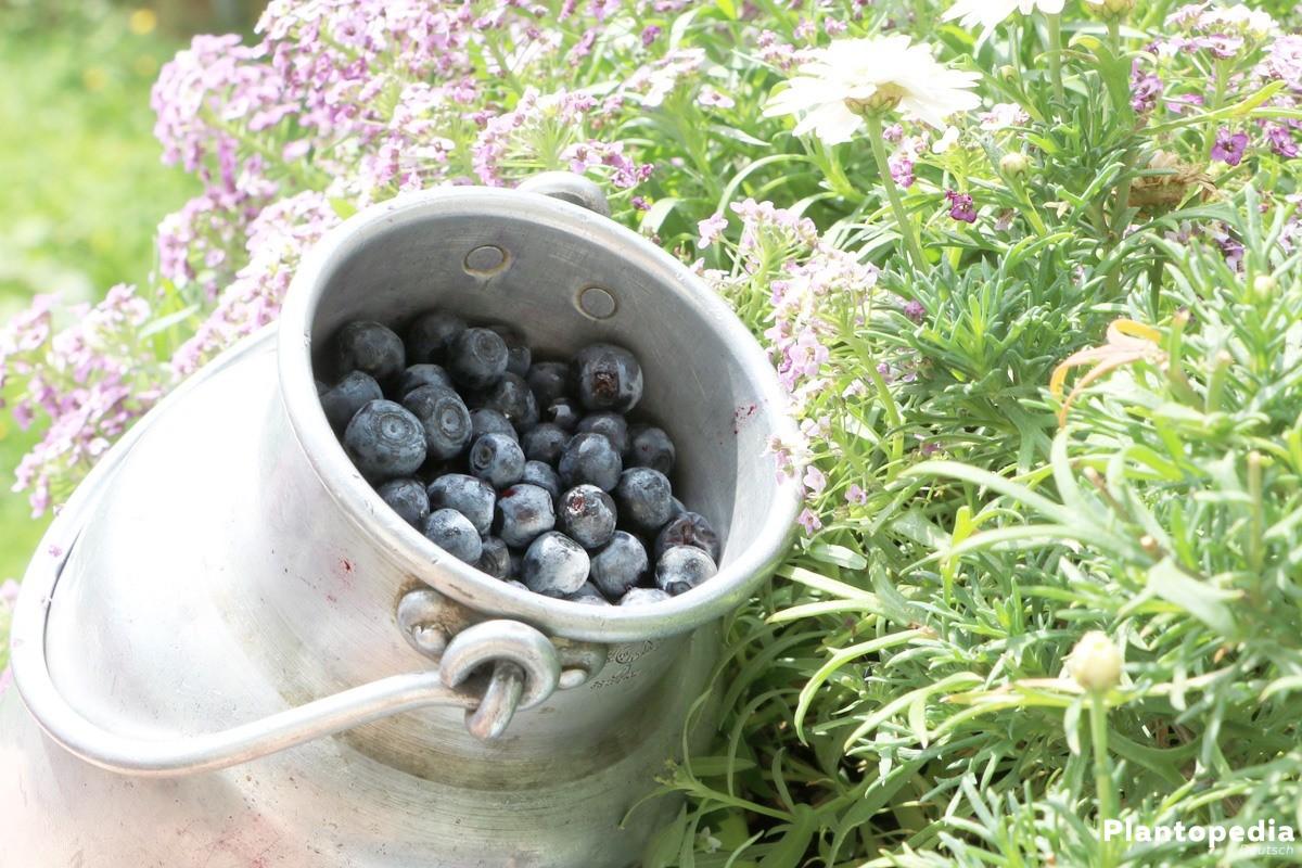 Heidelbeere ist violett-schwarz mit hellem Fruchtfleisch