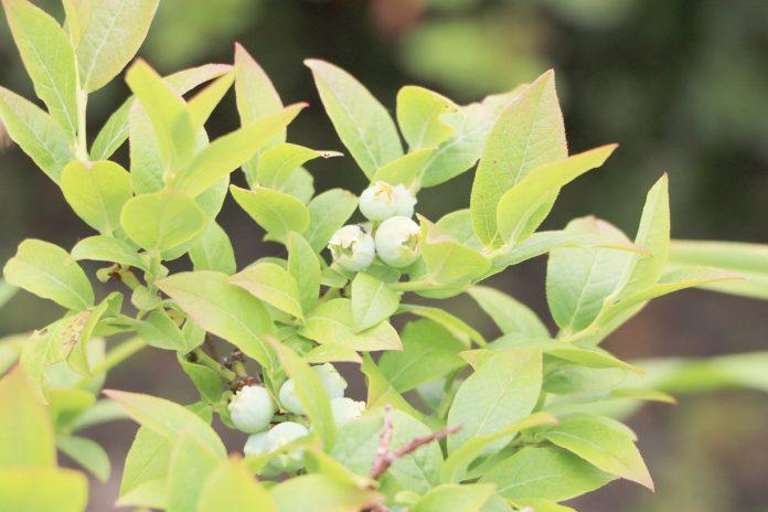 Vaccinium myrtillus, Heidelbeere, Blaubeere