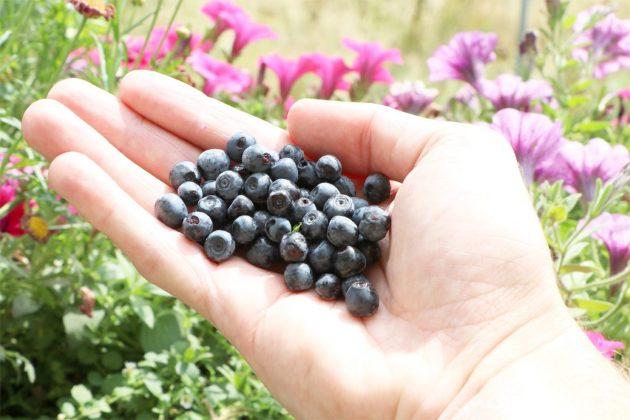Vaccinium myrtillus, Heidelbeere, Blaubeere reifen nicht nach