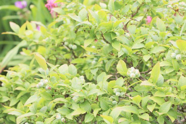 Vaccinium myrtillus ist ein stark verzweigter Halbstrauch