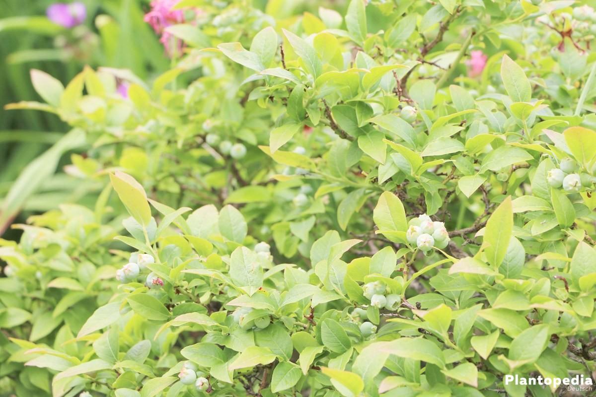 blaubeeren heidelbeeren anbauen pflanzen schneiden und erntezeit plantopedia. Black Bedroom Furniture Sets. Home Design Ideas