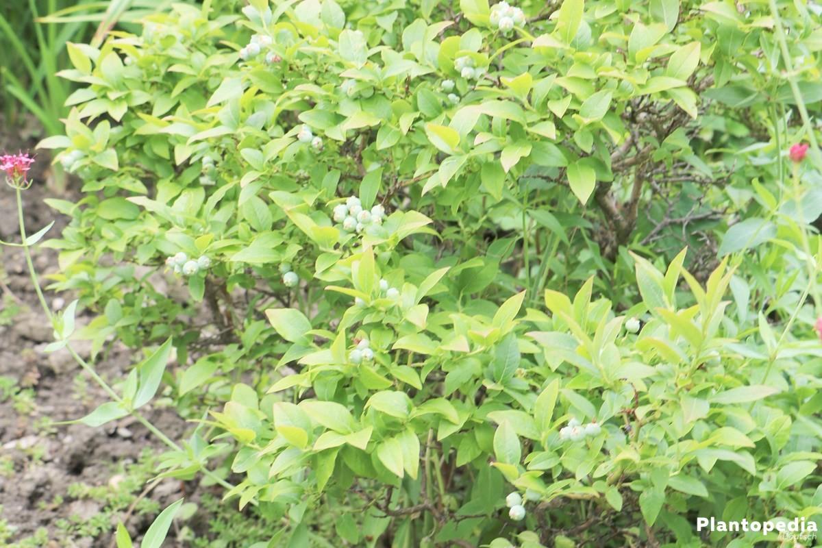 Vaccinium myrtillus, Heidelbeere, Blaubeere im heimischen Garten