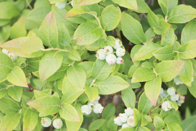 Vaccinium myrtillus, Heidelbeere findet auch in kleinen Gärten Platz für den Anbau
