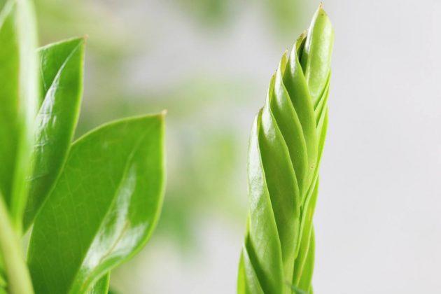 Zamioculcas zamiifolia - Vorsicht, alle Pflanzenteile sind giftig