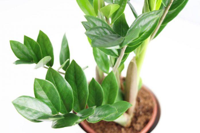 Zamioculcas zamiifolia, Glücksfeder