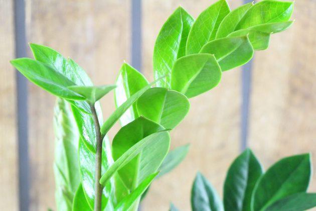 Zamioculcas zamiifolia bringt Farbfrische in jeden Raum