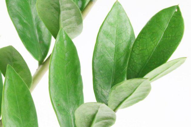 Zamioculcas zamiifolia braucht hellen und warmen Standort