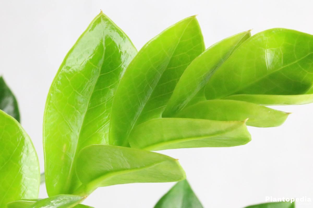 Zamioculcas zamiifolia mit sattgrünen Blättern