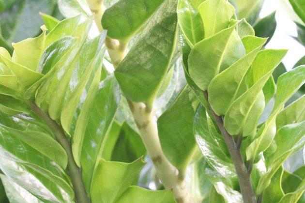 Glücksfeder mit sattgrünen Blättern
