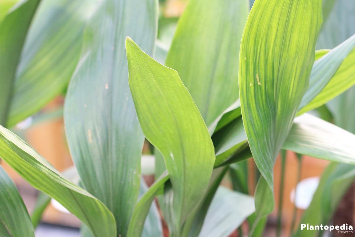 Aspidistra elatior mit dunkelgrünen Blättern teils mit Längsstreifen