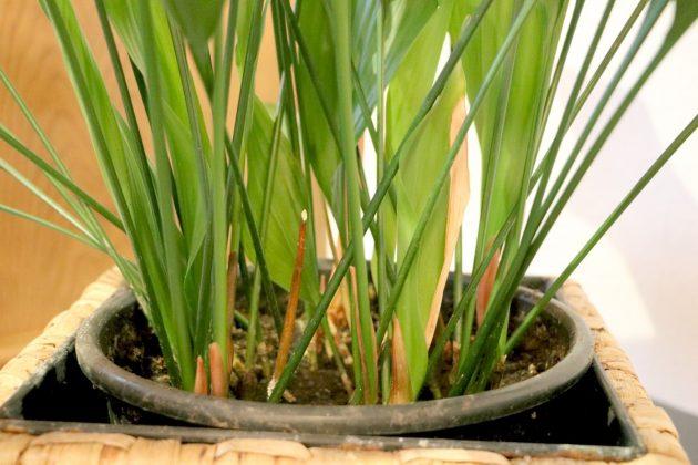 Schusterpalme ist beliebt für Büro- und Wohnräume