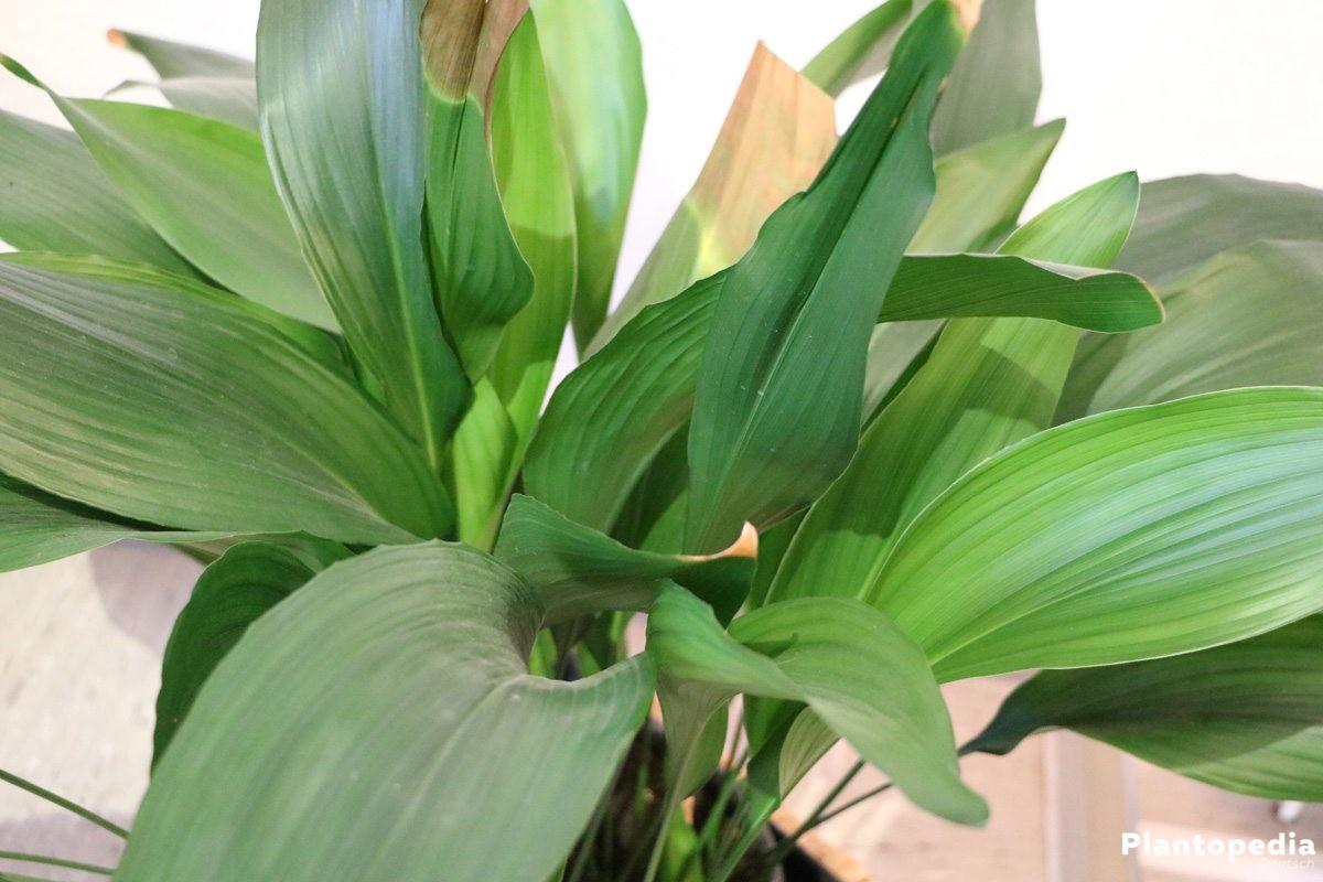 Aspidistra elatior, Schusterpalme mit braun verfärbten Blättern
