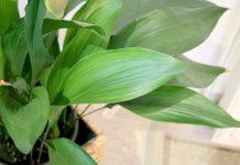 Aspidistra elatior, Schusterpalme, Schildblume, Eisenpflanze