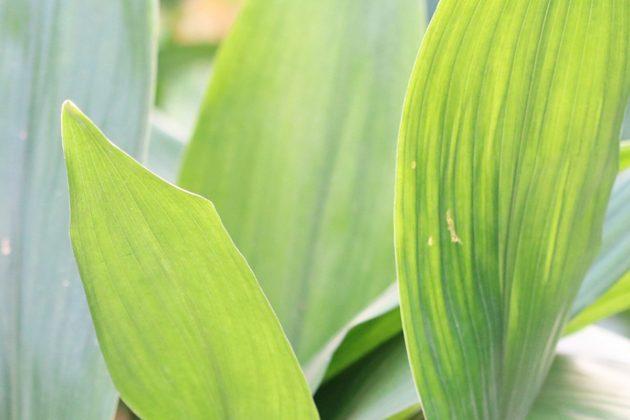 Aspidistra elatior, Schusterpalme ist eine opulente Blattschmuckpflanze