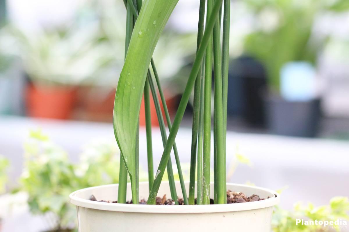 Schildblume, Eisenpflanze ist immergrün und mehrjährig