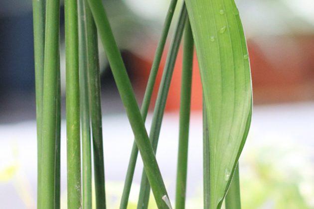 Aspidistra elatior ist eine anspruchslose Pflanze