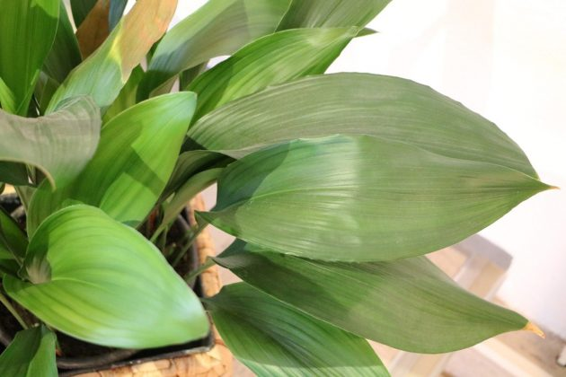 Aspidistra elatior wird auch Schildblume, Eisenpflanze genannt
