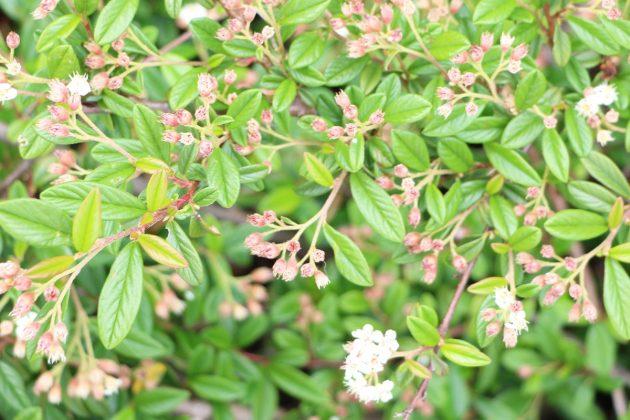 Cotoneaster, Kriechmispel ist pflegeleicht