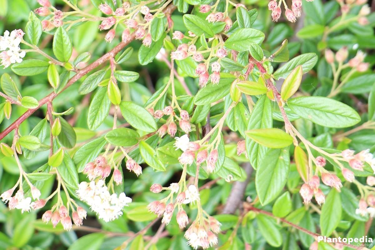 Zwergmispel ist eine flache, bodendeckende Pflanze