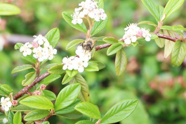 Kriechmispel mit vielen kleinen weißen Blüten