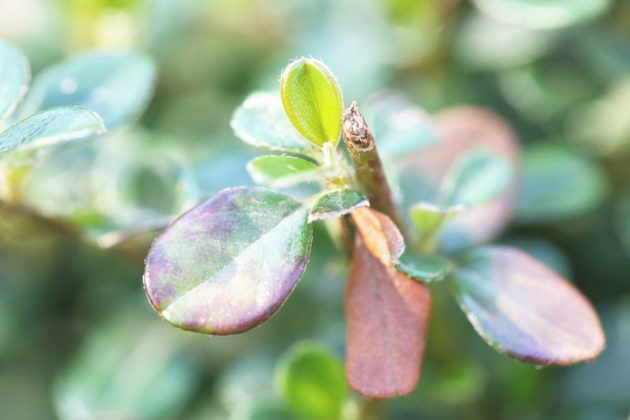 Kriechmispel kann auch an Hängen und Böschungen gepflanzt werden