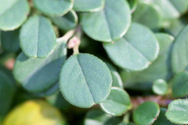 Cotoneaster behalten die saftig grünen Blätter auch imWinter