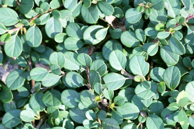 Zwergmispel, Kriechmispel ist eine robuste und winterharte Pflanze