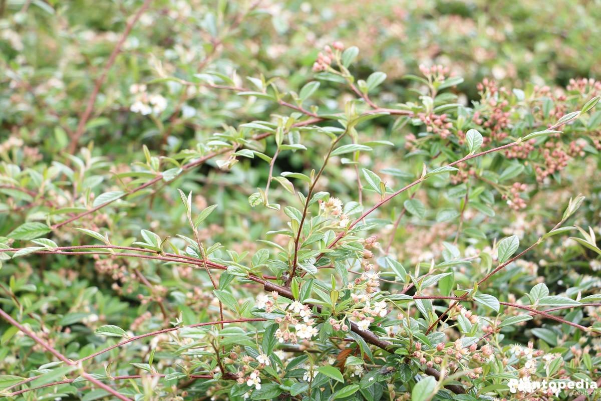 Cotoneaster ist eine winterharte Pflanze