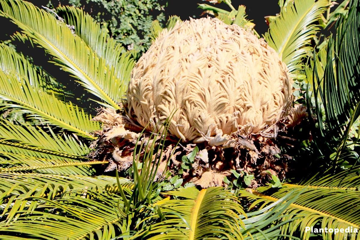 Cycas revoluta benötigt lehmig-humoses Substrat