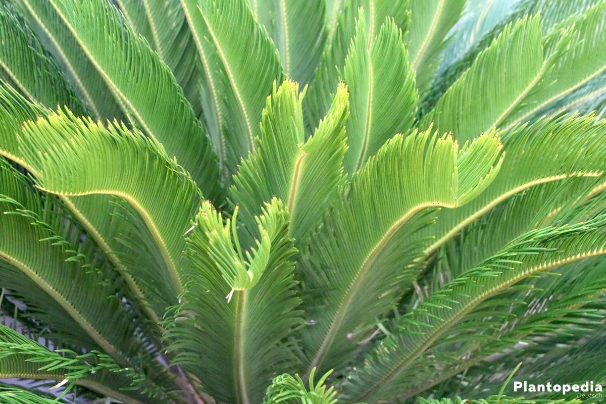 Sagopalme mit gefiederter Blattform