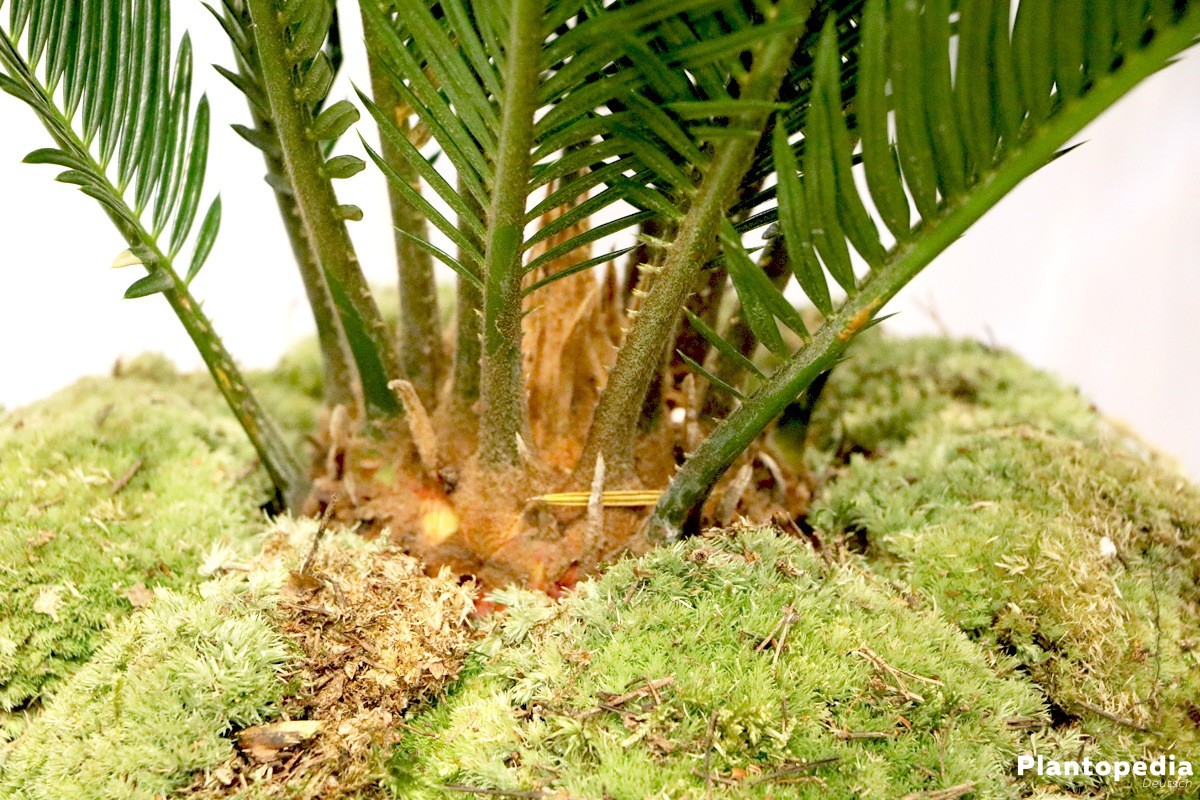 Cycas revoluta, Palmfarn stammt aus Japan