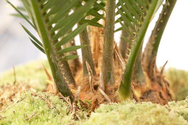 Cycas revoluta, Palmfarn, Sagopalme für Räume und Gärten geeignet