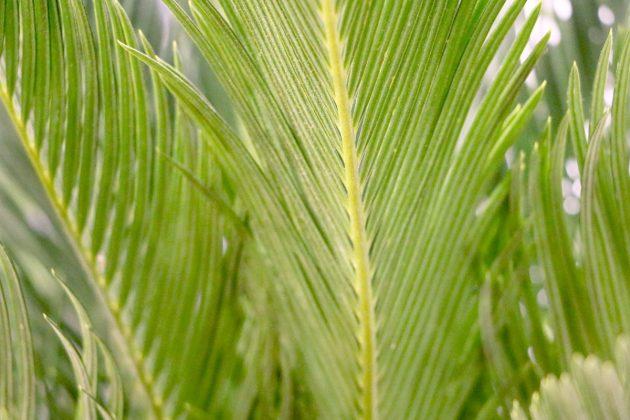 Cycas revoluta, Palmfarn wächst palmenähnlich