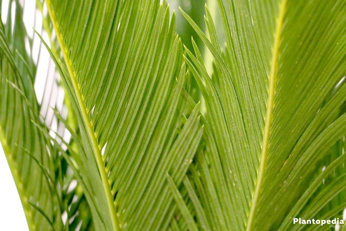 Cycas revoluta, Palmfarn, Sagopalme wächst bis zu sechs Meter hoch