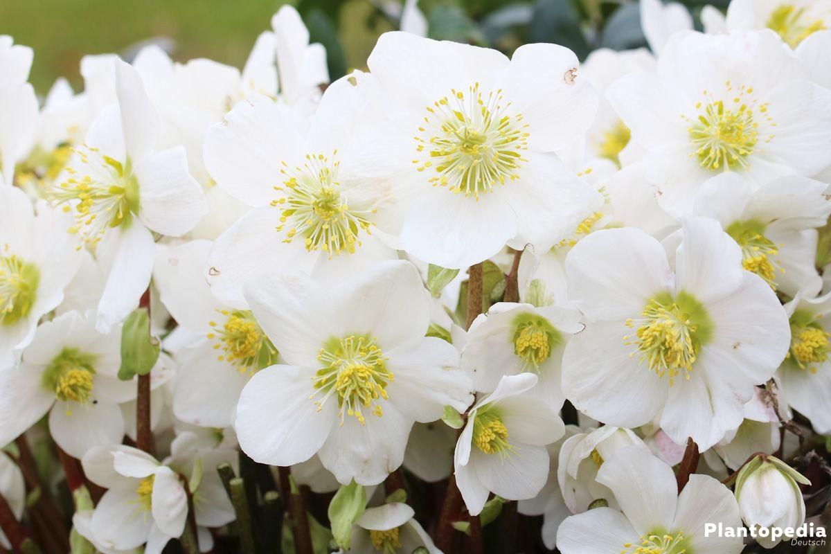 Helleborus niger, Christrose, Schneerose, Nieswurz im Gartenbeet