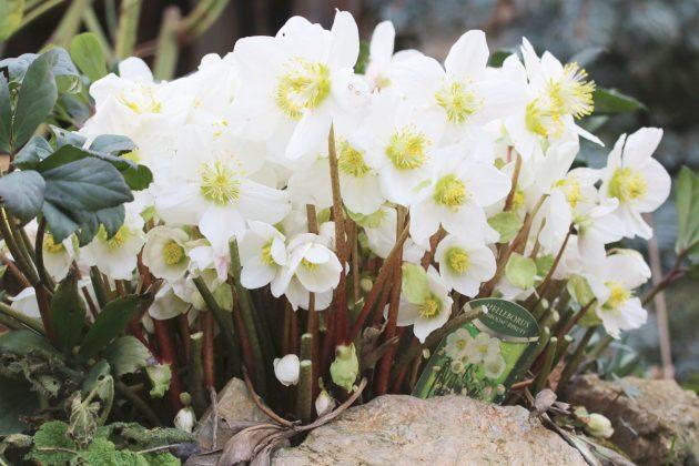 Schneerose, Nieswurz ist in seinen Pflanzenteilen giftig